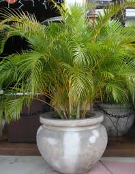 A Butterfly palm is often grown as a potted plant, shrub or hedge. It is a  widely cultivated ornamental throughout sub-tropics and tropics.