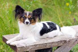 Papillon Dog Breed Is On The Bench ...