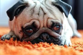 dog area rug dog eating area rug dog area rug