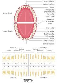 How To Count Teeth Chart Why Do Dentists Say Numbers