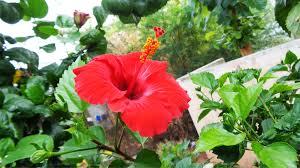 flower jasmine red flower 52763