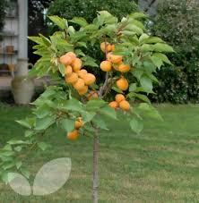 Dwarf Aprigold Fruit Trees For Sale  Blackmoor Fruit NurseryFull Size Fruit Trees For Sale
