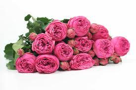 pink piano rose fucsia rose bright pink garden rose cut garden roses