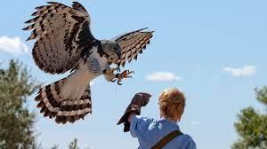 Harpy Eagle HD Wallpaper