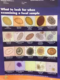 Canine Parasite Egg Identification Chart Pin On Vet Med