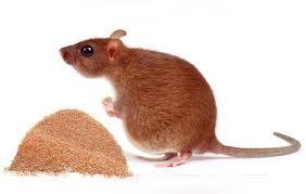 como tira cola pega tudo de rato no gato. O Fim Dos Ratos Usando Feijao Cru Bioretro