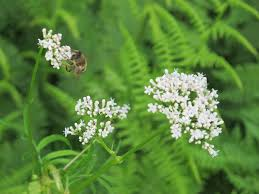 garden heliotrope valeriana officinalis with bee