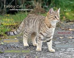 the tabby cat cat breeds encyclopedia