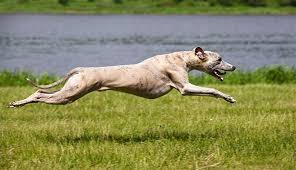 Whippet Dog Breed Information Pictures Characteristics
