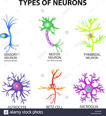 Types Of Neurons Structure Sensory Motor Neuron Astrocyte