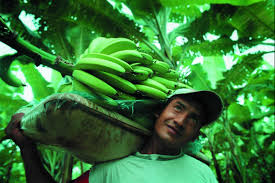 essays child labor banana plantations < research paper essays child labor banana plantations