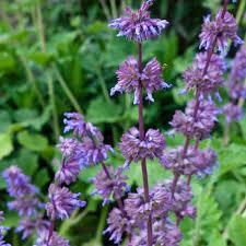 Salvia verticillata 'Purple Rain' (Whorled Sage)