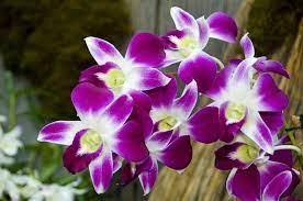 Fiore di orchidea pieno fiore nell'allevamento di orchidee. Fiori Simili Alle Orchidee