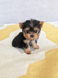 micro teacup yorkie puppies for sale. Brilliant For Micro Teacup Yorkie Puppy For Sale For Puppies Sale E