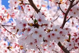 Bunga Sakura Sketsa Bunga Sakura Pohon Bunga Sakura Disana Mewarnai