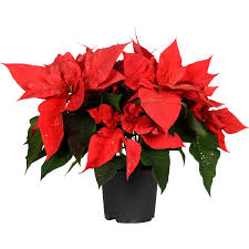 Weihnachtsstern Rot Mit Goldglitter Topf ø Ca 13 Cm Euphorbia Pulcherrima