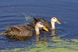Image result for wet field duck