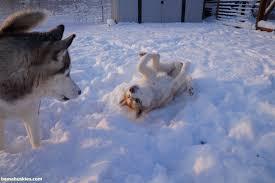 baby husky in snow. Unique Husky Alabama Huskies In The Snow On Baby Husky In Snow