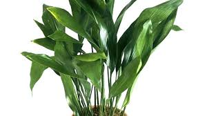 popular pictures of common houseplants images dumb cane are for low light conditions indoor house plants
