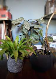 cat safe indoor plants house that are not toxic pet hanging cat safe indoor plants