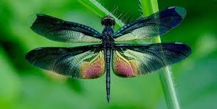 Amazing V Okolí Tělo Křídla Oko Vážky
