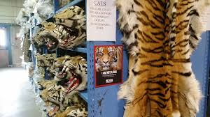 most of the poached tigers and leopards find their ways to china every year through clandestine