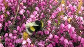 Bildergebnis für erica bumble bees
