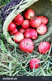 green and red apples in basket. red apples on the green grass, apple harvest, spill out of a wicker and in basket