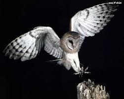 نتيجة بحث الصور عن طائر البوم