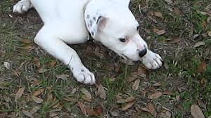 pitbull dog puppies white.  Pitbull All White Pitbull Puppy Intended Dog Puppies