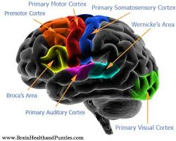 brain wiring related keywords suggestions brain wiring long diagram of brain wiring diagram for 1985 ford f350