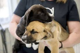 humane society dogs. Delighful Society Joplin Humane Society Overwhelmed By Dogs Puppies Inside Dogs G