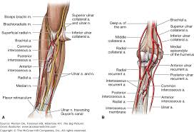 Chapter 32 Forearm The Big Picture Gross Anatomy