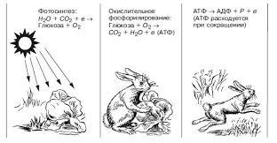 Реферат на тему ЭКОСИСТЕМА и БИОГЕОЦЕНОЗ биология прочее Рис 5 Потоки энергии идущие от Солнца через зеленые растения к животным