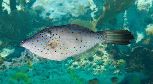 scrawled filefish. Brilliant Scrawled Bucktooth Tetras And Scrawled Filefish