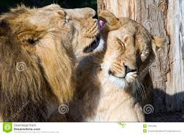 lioness and lion cuddle. Plain And Lioness And Lion For And Lion Cuddle C