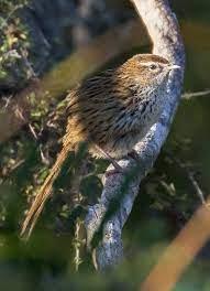 New Zealand fernbird - Wikipedia
