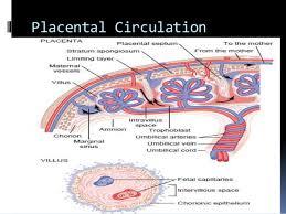 Placental Blood Barrier