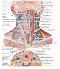 Thyroid Anatomy Anatomy Of The Thyroid And Parathyroid Glands Superficial