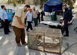 nov photo brief miss earth beauty pageant honor killing palestinians look at a crocodile in a cage at a hamas police station in the northern gaza strip a crocodile on the run from a gaza zoo for the past 18
