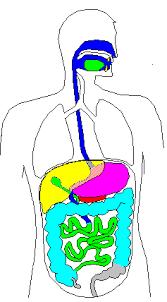 Verdauungssystem mensch arbeitsblatt