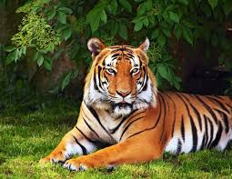 hd wallpaper widescreen animals.  Widescreen Animals Tiger Tree Leaves Grass Green Wallpaper Widescreen Full Screen Hd  Wallpapers Background Fullscreen To Hd Wallpaper Widescreen Animals W