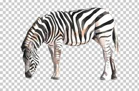 horse zebra watercolor painting drawing png clipart always animal animals art black and white free png