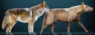 grey wolf size white wolf 11 fascinating facts about the dire wolf canis dirus