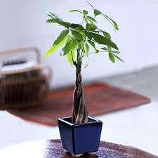 small office plant. Small Braided Office Plants For Plant T