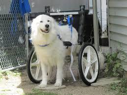 denali in dog wheelchair