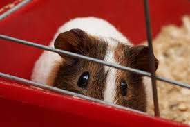10 best guinea pig cages for 2019 pet