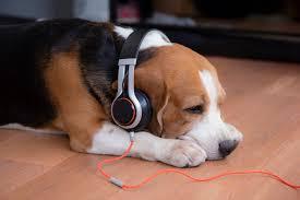 Cachorro beagle usando fones de ouvido | Foto Premium