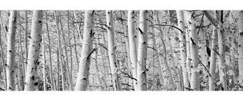 >loon peak aspen trees in a forest wall art on wrapped canvas  loon peak aspen trees in a forest wall art on wrapped canvas reviews wayfair