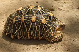 Indian Star Tortoise Diet Chart Indian Star Tortoise Wikipedia